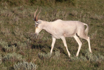 White Blesbuck (Ram)