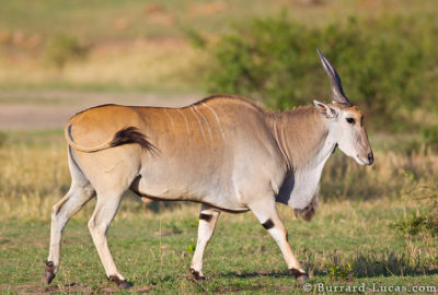 The Common Eland (Bull)