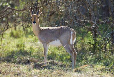 Red Reedbuck (Ram)