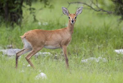 Steenbuck (Ewe)